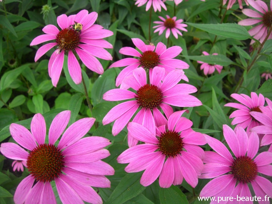 Echinacea - Par Atilin — Travail personnel, Domaine public, https://commons.wikimedia.org/w/index.php?curid=4702591